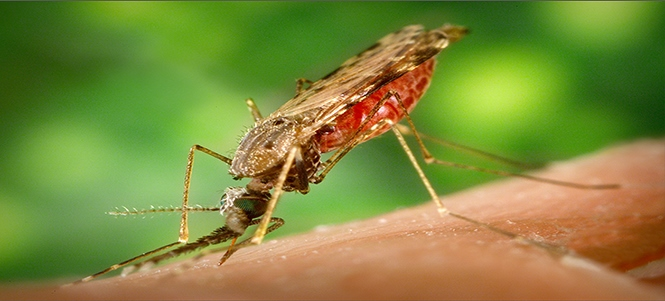 Anopheles mosquito. Photo courtesy of James Gathany and CDC